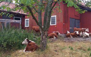 Kossor som vilar utanför lagårn.