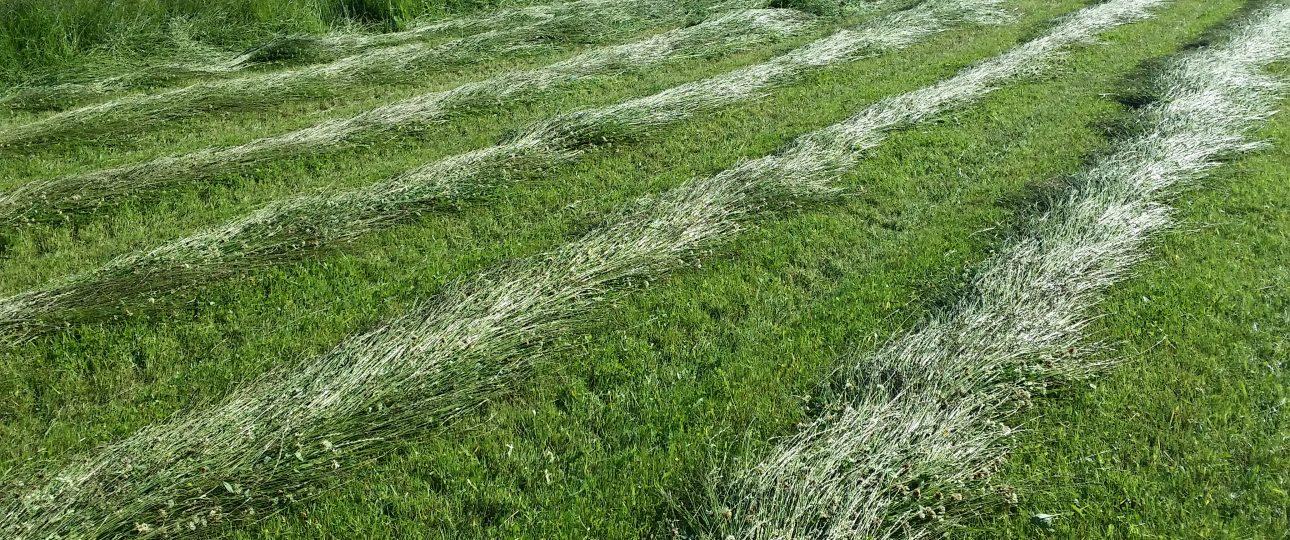 Gräs som ligger på sträng för att balas