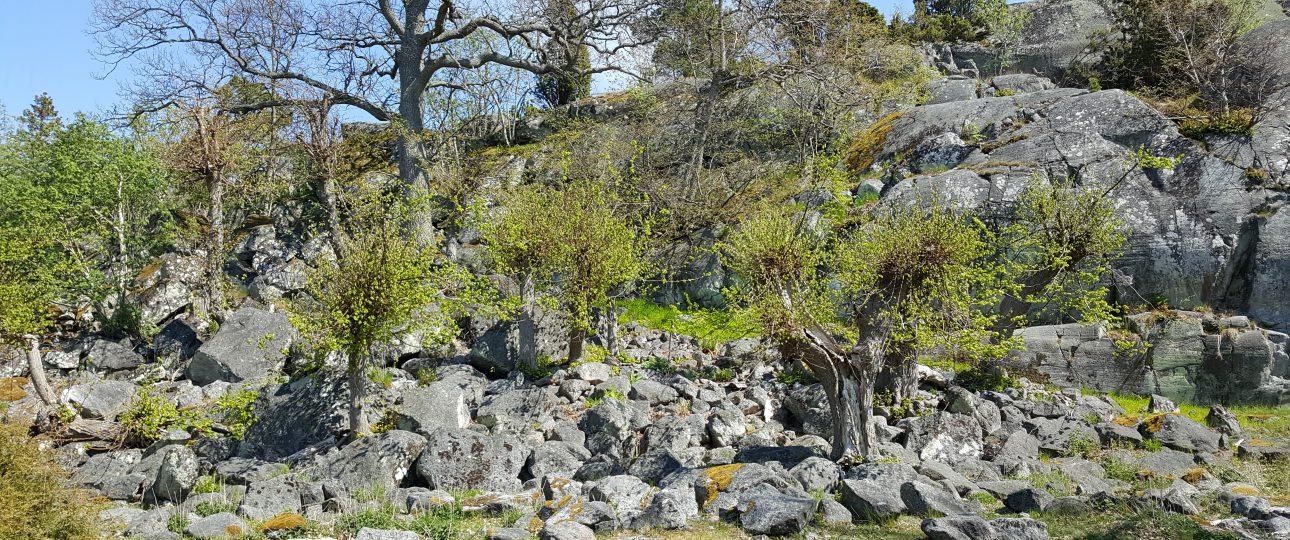Hamlade träd nedanför Kikarberget