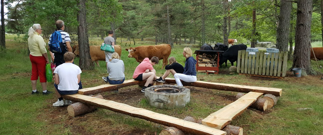 Många personer och tio kossor runt en av grillplatserna på ön