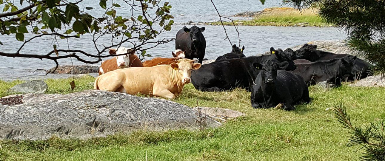 Kossor som ligger vid strandkanten